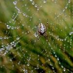 L'araignée croqueuse de rosée