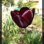 Tulipe noire au jardin