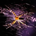 Araignée nocturne