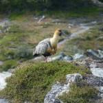 Ibis de Patagonie