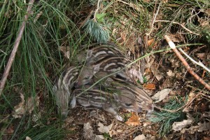 Jeunes marcassins dans leur nid