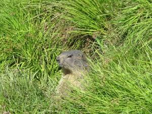 Marmotte au Col du Petit Saint Bernard