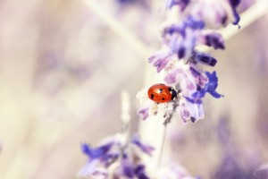 coccinelle by AquilaSol
